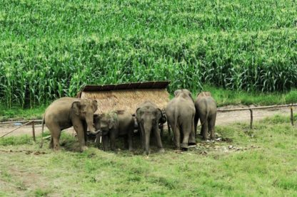Chiangmai Elephant Home - 3 Days 2 Nights Elephant Experience - Farming
