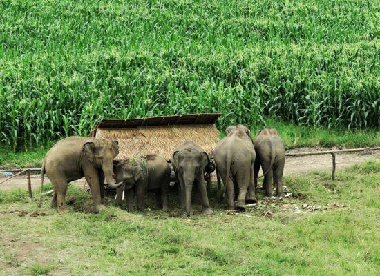 Chiangmai Elephant Home - One day Elephant Experience and Farmer - Elephants and Corn fields