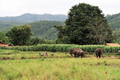Chiangmai Elephant Home - One day Elephant Experience and Farmer - Elephants and Corn fields