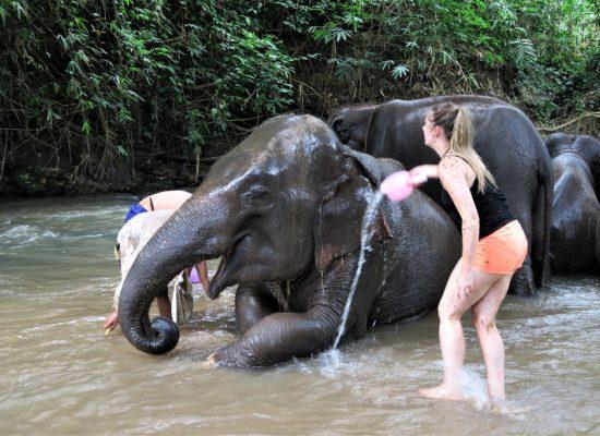 Chiangmai Elephant Home - 2 Days 1 Night Elephant Experience - Bathing your Elephant